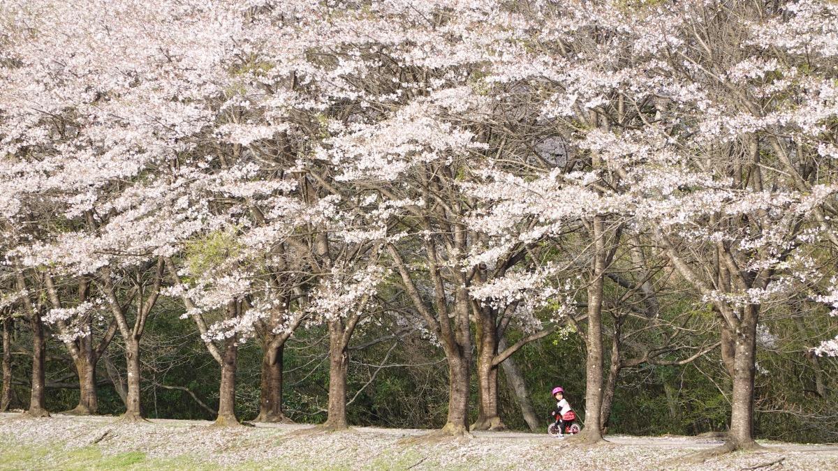 満開の桜並木の中をストライダーST-Rで走る女の子
